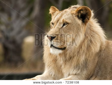 Peaceful Lion Profile