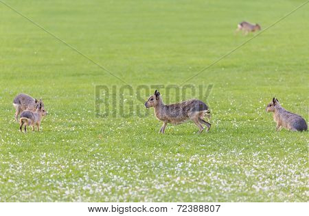 Hares On A Meadow