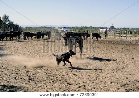 The Herdsman Bull Dog At Work