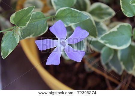 Flowering Vinca