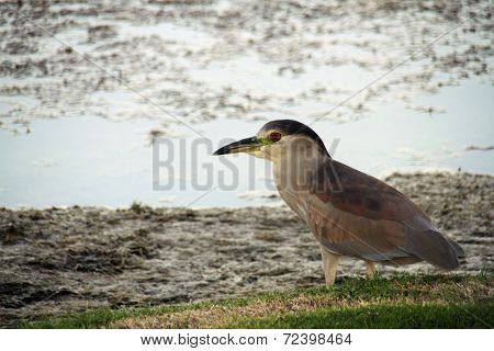Bird with red eye by lake