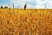 pic of soybeans  - Ripe soybean field ready for being harvested - JPG