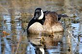 picture of winnebago  - Canada Goose (Branta canadensis) at Deer Run Forest Preserve in Illinois.