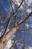 foto of pecan tree  - Low perspective of tall Pecan tree and cloudy sky - JPG
