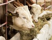 picture of manger  - Cows eating lucerne hay from manger on farm - JPG
