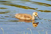 pic of baby goose  - A Baby Goosling Swimming in a Summer Pond  - JPG