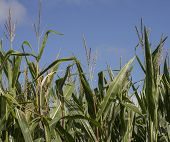 stock photo of corn stalk  - Corn stalks stand against a blue summer sky - JPG
