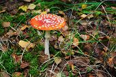 stock photo of non-toxic  - Amanita muscaria  - JPG