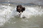 picture of leaping  - a wet young brown working type cocker spaniel puppy leaping into the sea - JPG