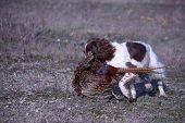 Liver And White Working Type English Springer Spaniel Pet Gundog Retrieving A Pheasant poster
