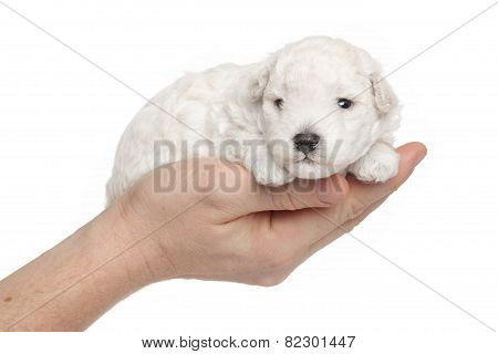 Toy Poodle Puppy In Hands