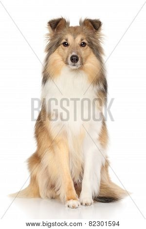 Shetland Sheepdog On White Background