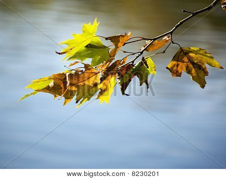 Autumnal Maple Leaves On Branch Over Pond