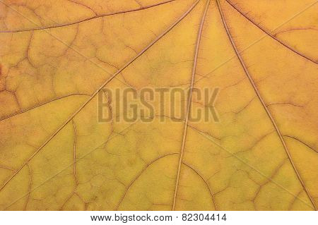 Fallen Golden Yellow Maple Leaf Texture Pattern, Autumn Fall Grunge Vintage Herbarium Background
