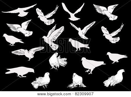 illustration with nineteen white pigeons isolated on black background