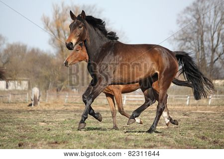 Two Brown Horses Running At The Pasture