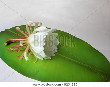Queen Of The Night Brahma Kamal Sevanteen