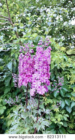 High Inflorescence Of Pink Delphinium Flowers