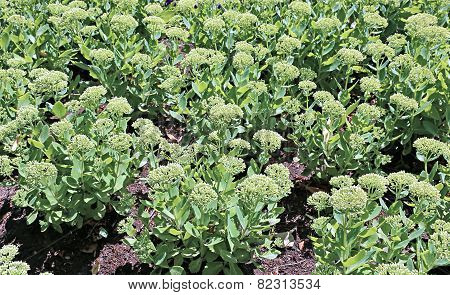 Background Of Plants Stonecrop On The Flowerbed
