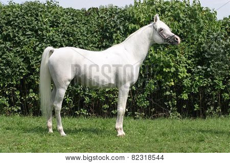 Beautiful Young Purebred Gray Arabian Stallion