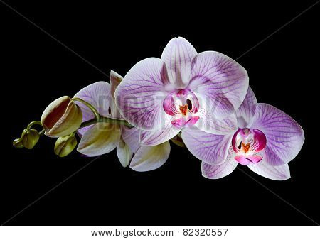 Beautiful Pink Orchid Flowers Isolated on the Black Background