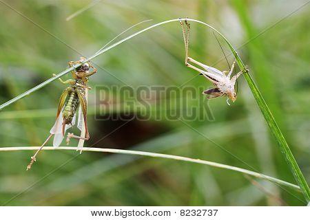 Metamorphosis in Grasshoppers