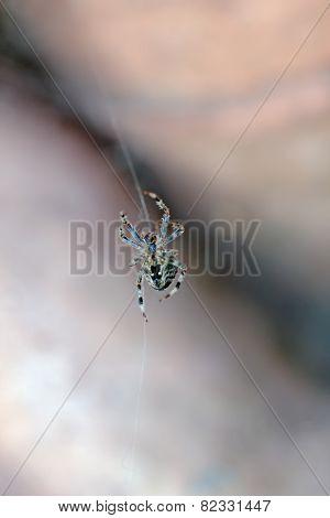 Garden Spider In Sussex UK