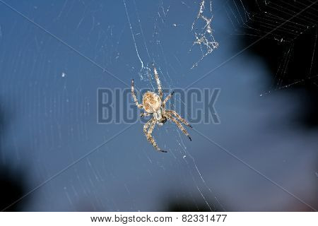 Orb Web Spider Brighton UK