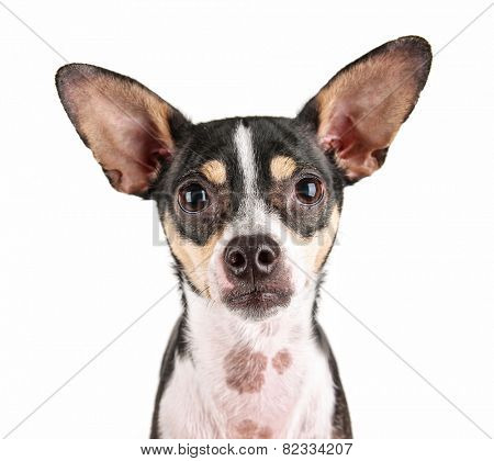 a cute rat terrier chihuahua mix isolated on a white background studio shot looking at the camera