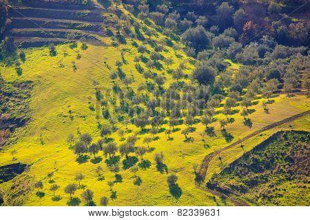 Olive Tree Grove