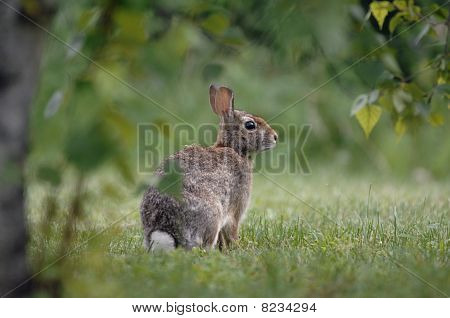 Rabbit in the backyard