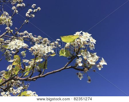 California Cherry Winter Blossom