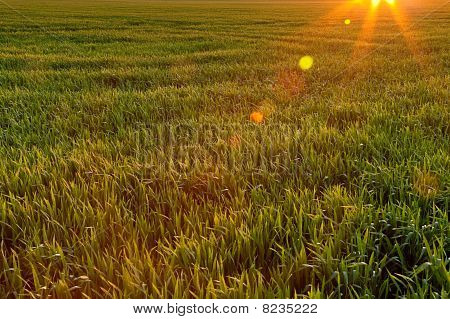 Field With Young Crop Lit By Evening Sun