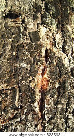 Resinous tree bark