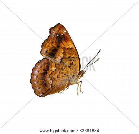 Isolated Female Of Siamese Black Price Butterfly