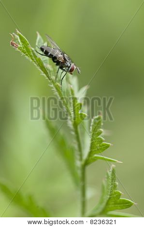 Dipteron fly