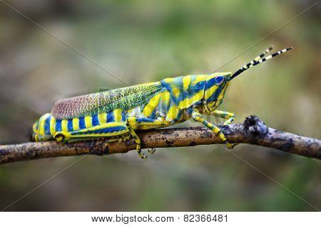 Poekilocerus pictus