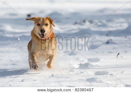 Fortunately Labrador