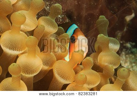Banded Clownfish In Anemone