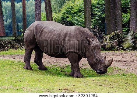 Portrait Of A White Rhino