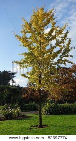 Ginkgo Biloba Tree