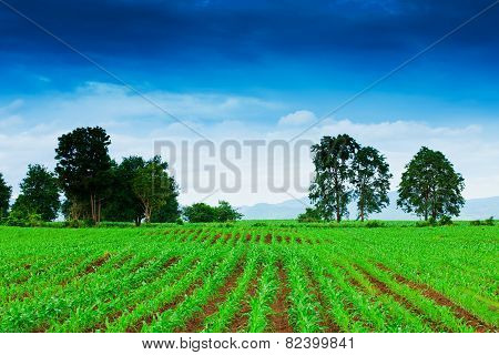 Corn Field In Thailand