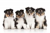 stock photo of sheltie  - Group of shetland sheepdog puppies on a white background
