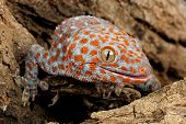 foto of tokay gecko  - Closeup of a Tokay Gecko  - JPG