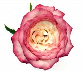 pic of rose close up  - Close up shot of a beautiful pink rose in bloom and isolated on a white background - JPG