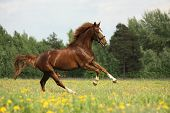 pic of chestnut horse  - Chestnut beautiful horse galloping at the meadow with flowers - JPG