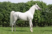picture of thoroughbred  - Warmblood thoroughbred grey racehorse standing in front of a green background - JPG