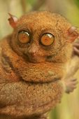 foto of southeast  - Tarsier sitting on a tree Bohol island Philippines Southeast Asia - JPG