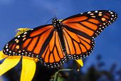 pic of winnebago  - Monarch Butterfly  - JPG