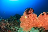 foto of fire coral  - A large sea fan with Crinoids on a deep water coral reef - JPG